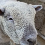 zoomars_sheep