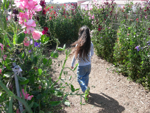 Sweet Pea Maze at the Carlsbad Flower Fields ~ www.socalwithkids.com