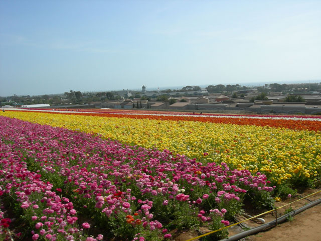 The Carlsbad Flowers Fields ~ www.socalwithkids.com