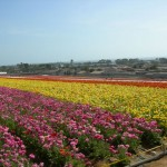 The Flower Fields at Carlsbad Ranch® ~ A Yearly Spring Tradition!