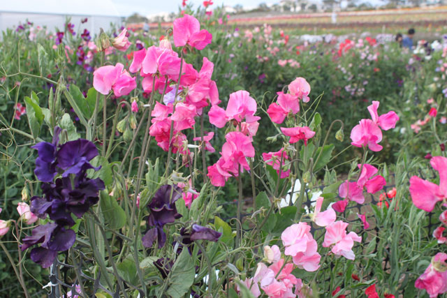 Sweet Pea Flowers at the Carlsbad Flower Fields ~ www.socalwithkids.com