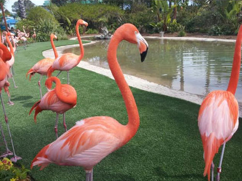 Flamingos At SeaWorld San Diego